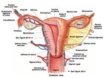 wanita sehat cantik organ kewanitaan dalam